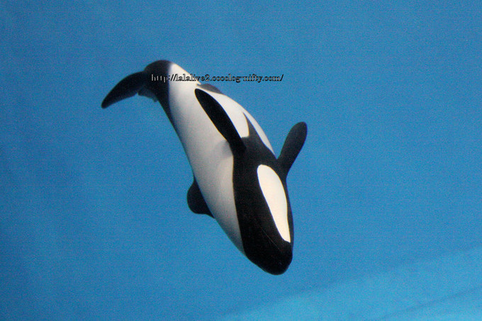 Commersons_dolphin2
