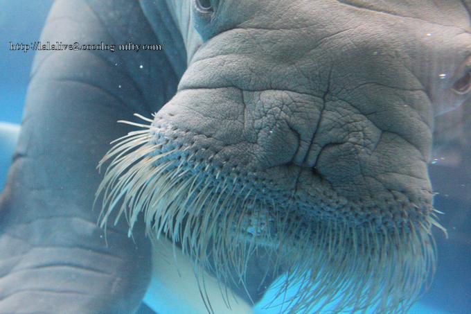 Walrus2016041