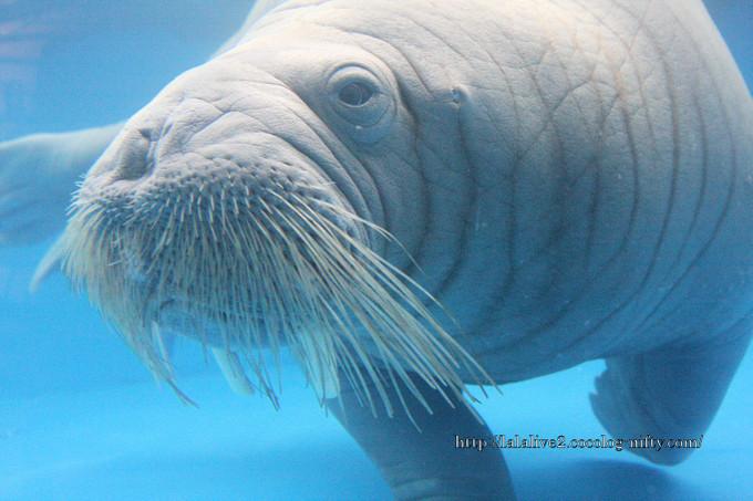Walrus2016042