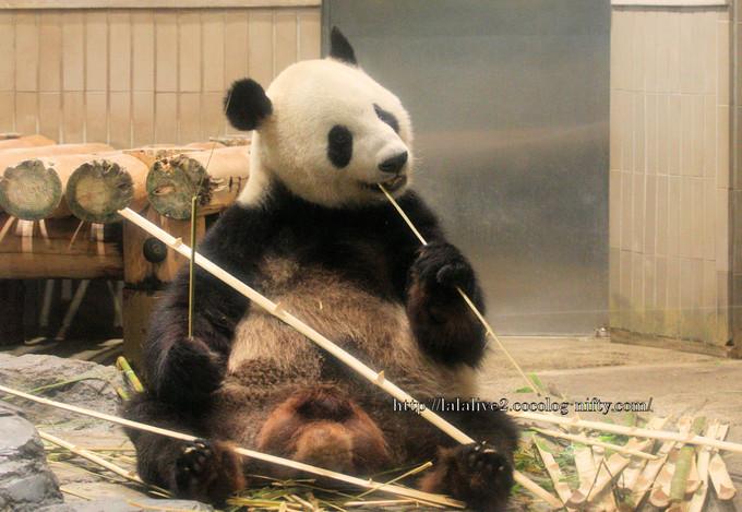 Giant_panda20160614