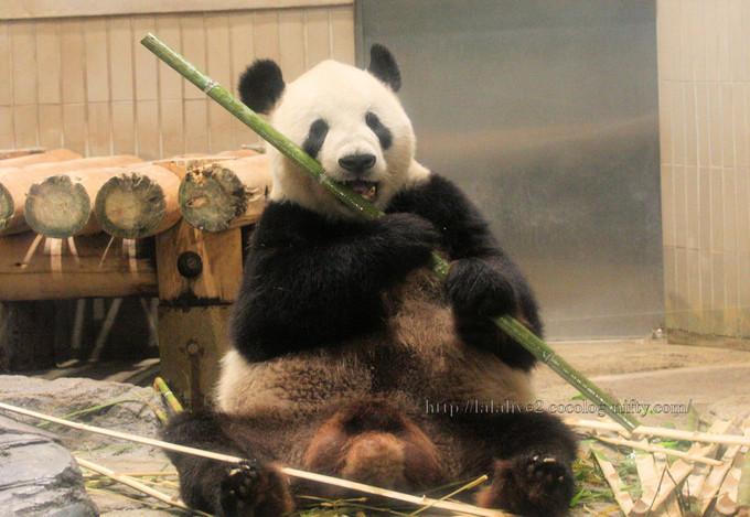 Giant_panda201606142