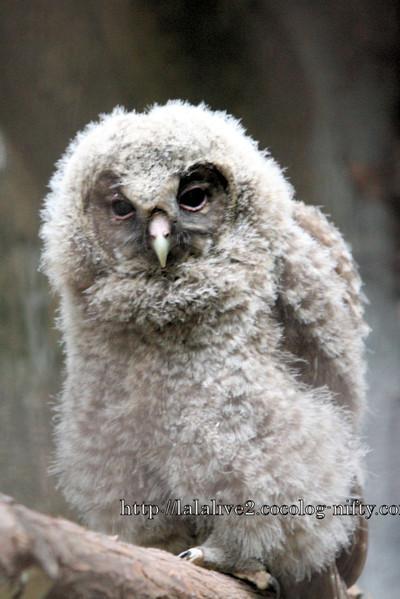 Owl2016061_2