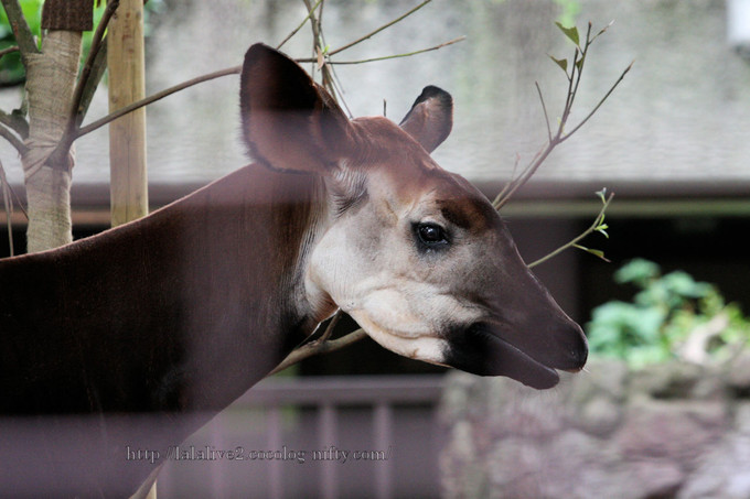 Okapi201606