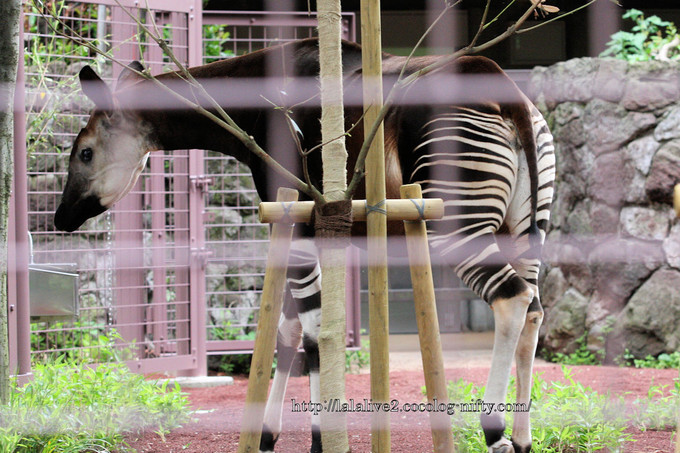 Okapi2016061