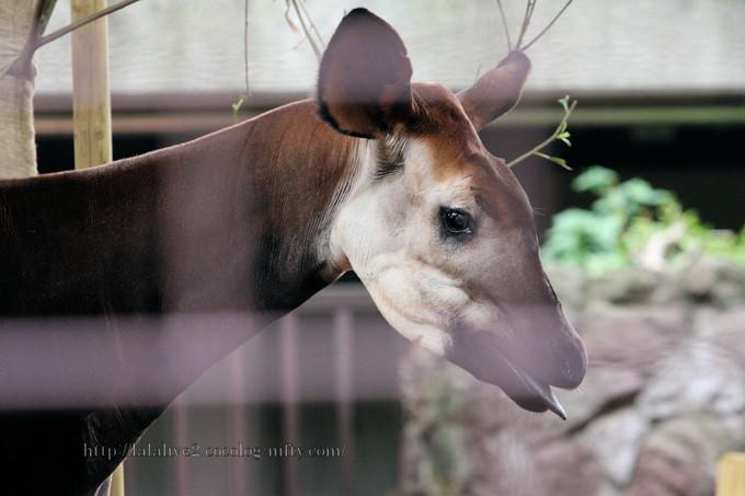 Okapi2016062
