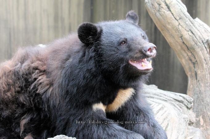 Bear201606