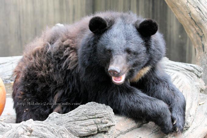 Bear2016061