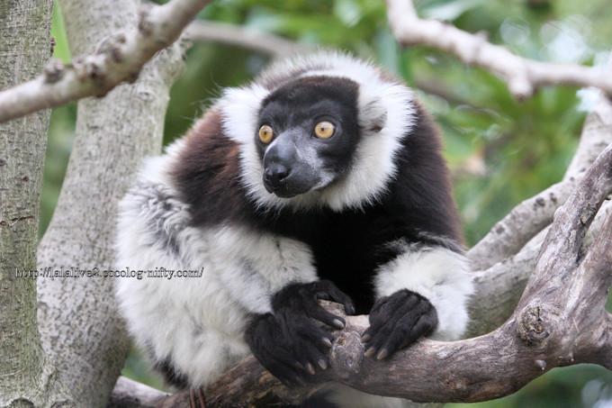 Blackandwhite_ruffed_lemur201606