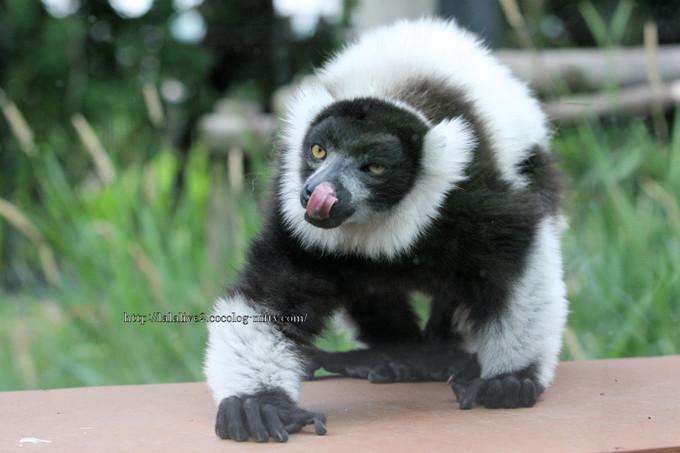 Blackandwhite_ruffed_lemur2016061