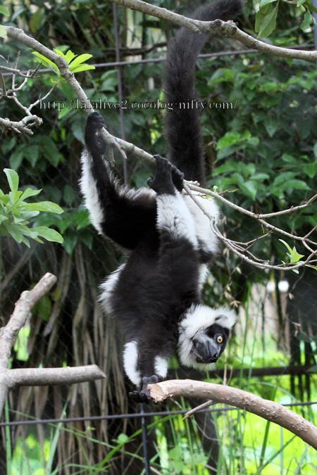 Blackandwhite_ruffed_lemur2016062