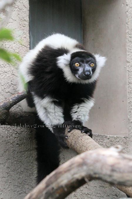 Blackandwhite_ruffed_lemur2016063