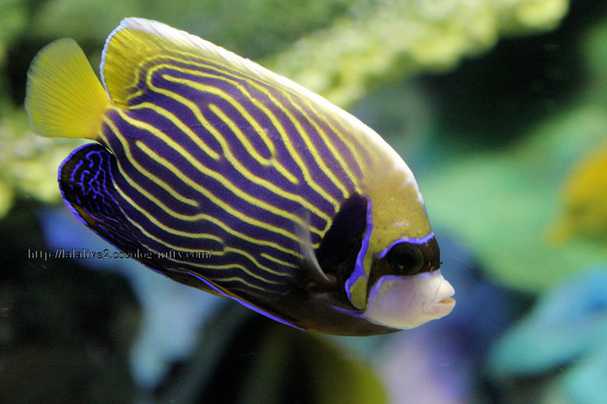 Emperor_angelfish201607