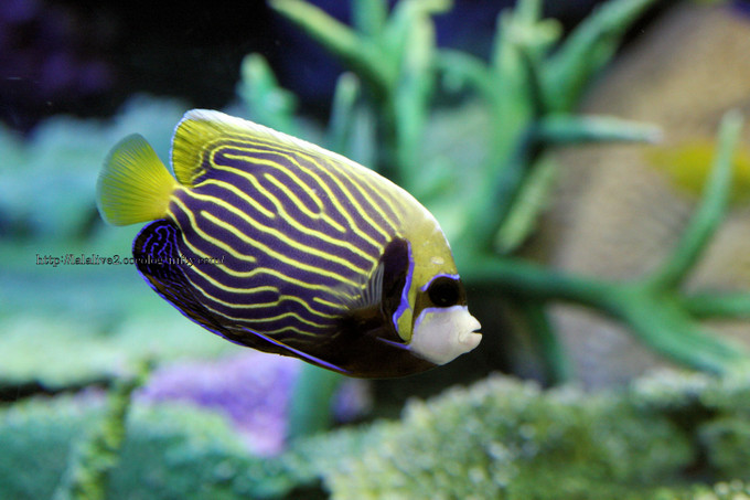 Emperor_angelfish2016071