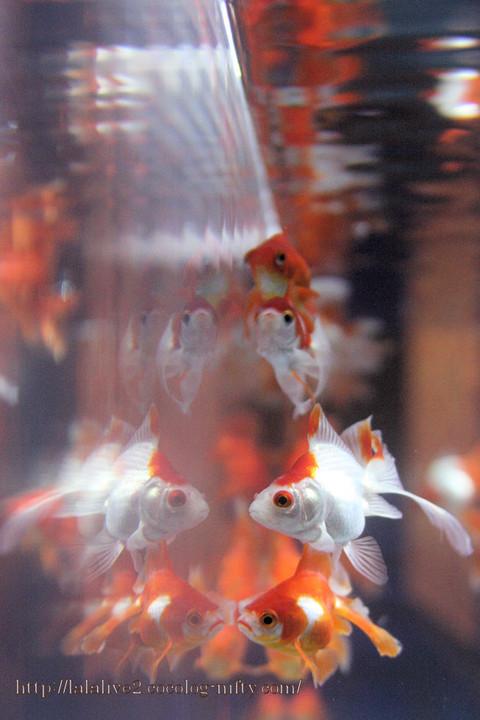 Goldfish2016091
