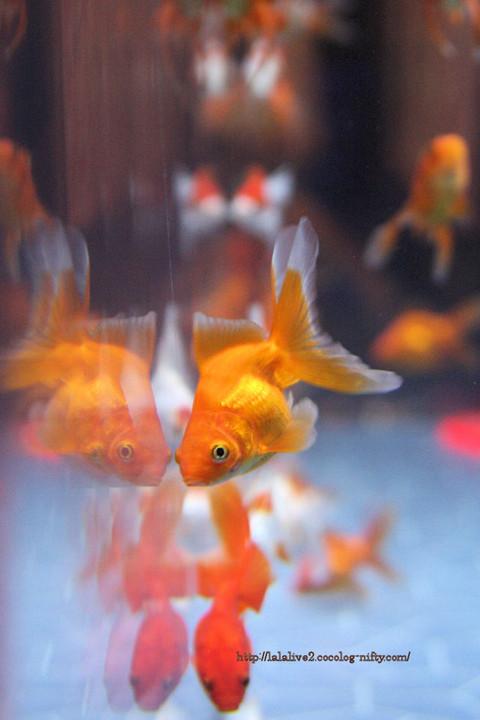 Goldfish2016092