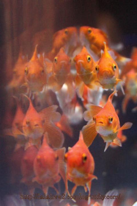 Goldfish201609_3