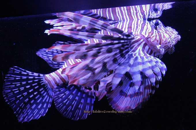 Red_lionfish201609