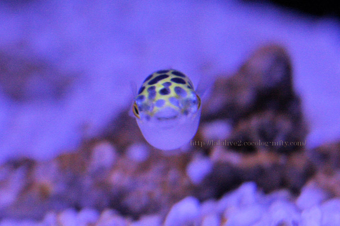 Green_spotted_puffer2016091