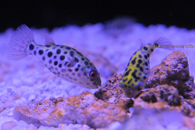 Green_spotted_puffer2016092