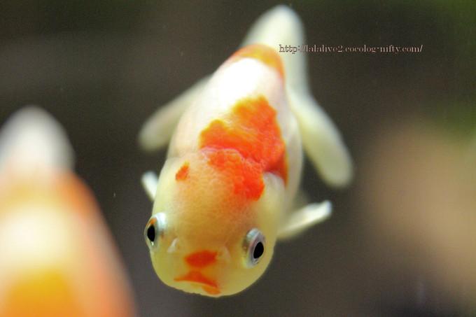 Goldfish_ponyo201609