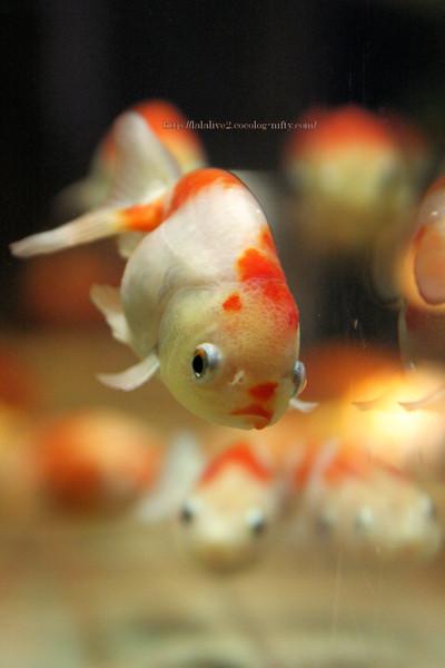 Goldfish_ponyo2016091