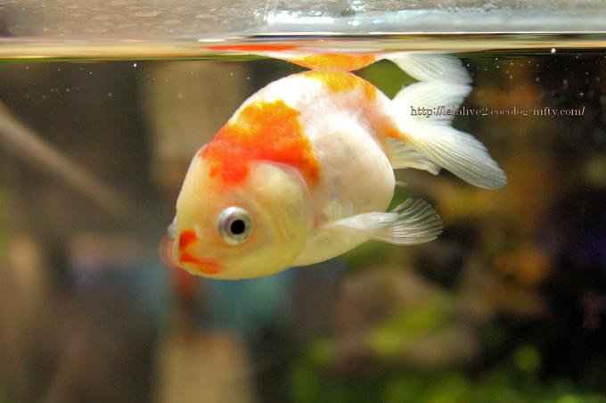 Goldfish_ponyo2016092