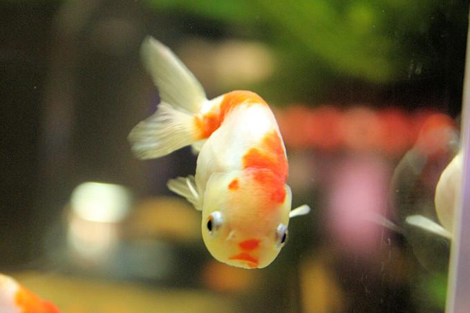 Goldfish_ponyo2016094