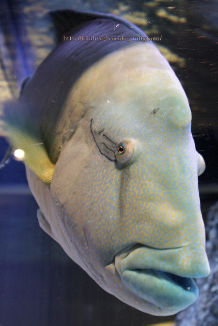 Humphead_wrasse2016091
