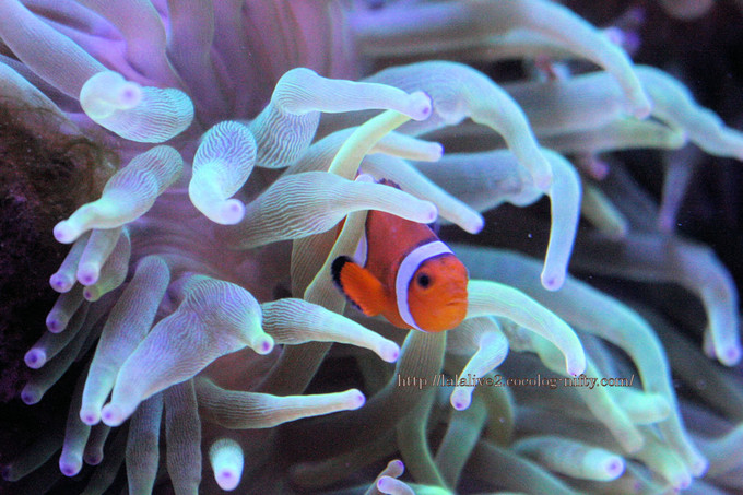 Common_clownfish201609
