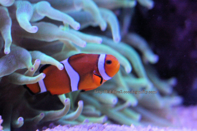 Common_clownfish2016091
