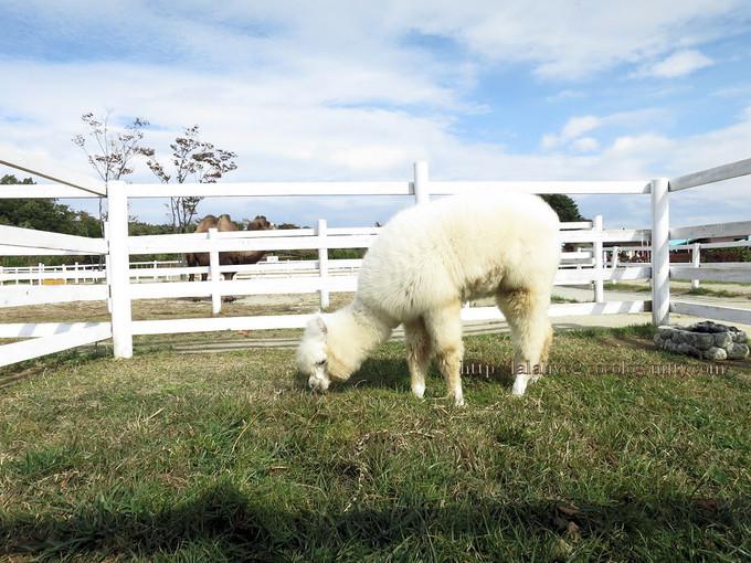 Alpaca1
