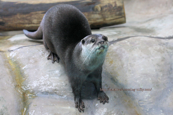 Oriental_shortclawed_otter2016101