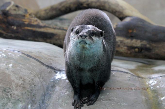 Oriental_shortclawed_otter2016104