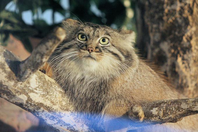 Pallass_cat201610