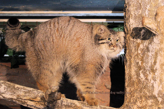 Pallass_cat2016103