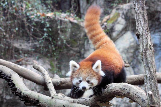 Red_panda2016111