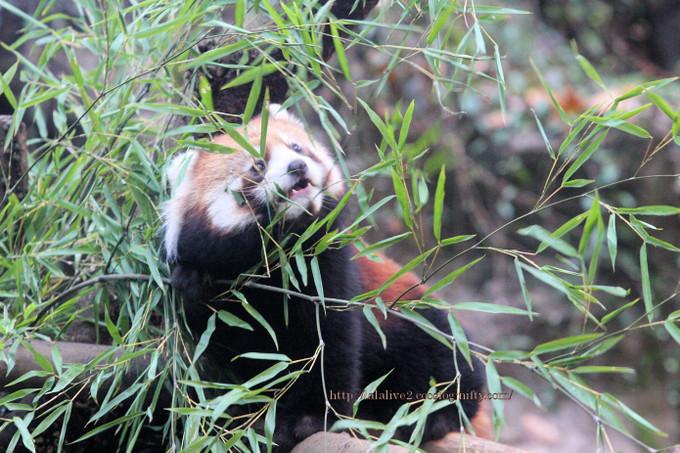 Red_panda2016112