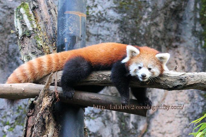 Red_panda2016113