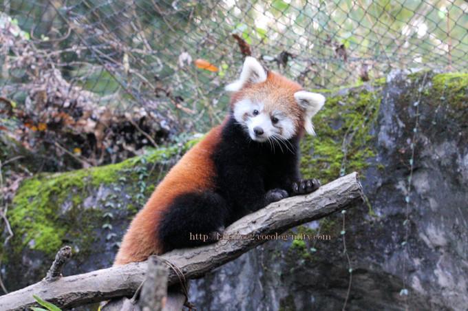 Red_panda2016114