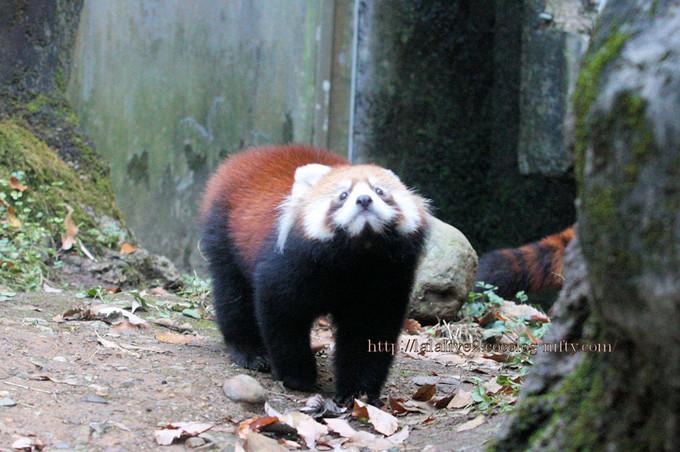 Red_panda2016115