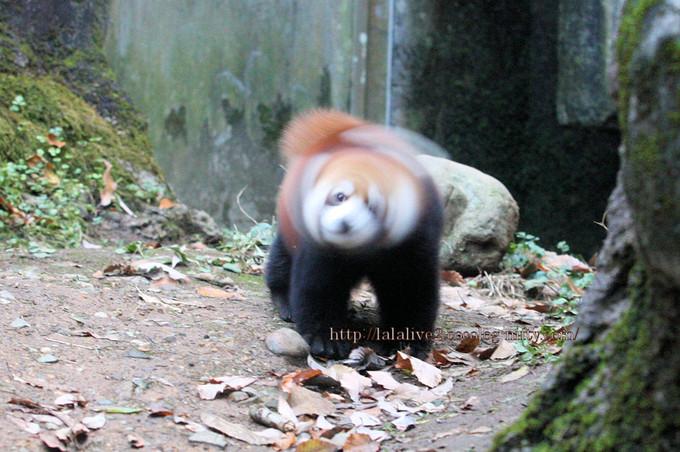 Red_panda2016116
