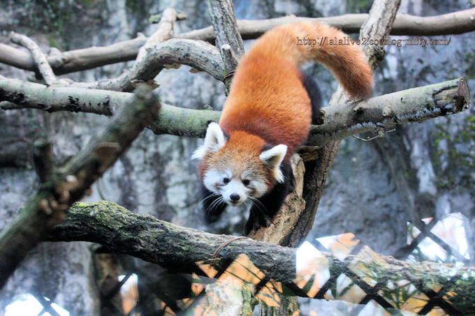 Red_panda2016117