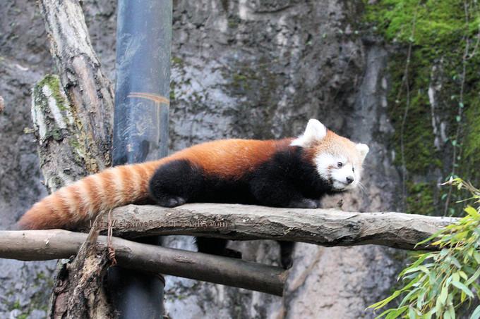 Red_panda2016118