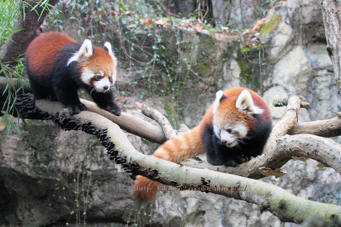 Red_panda201611_2