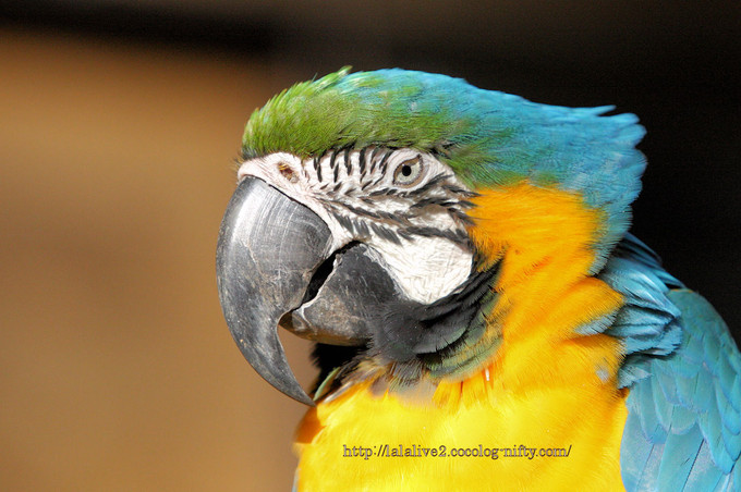 Blue_and_yellow_macaw201611