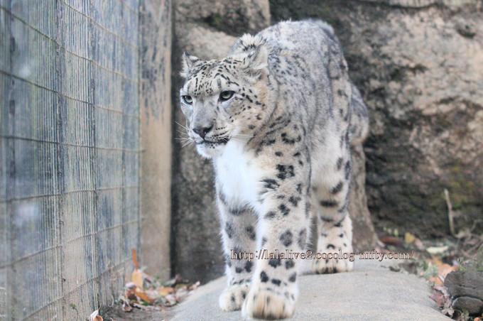 Snow_leopard_covo2016112