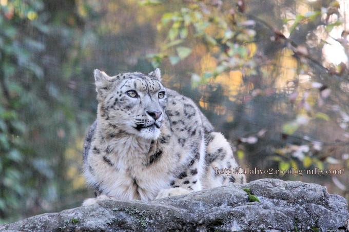 Snow_leopard_mirucha2016111