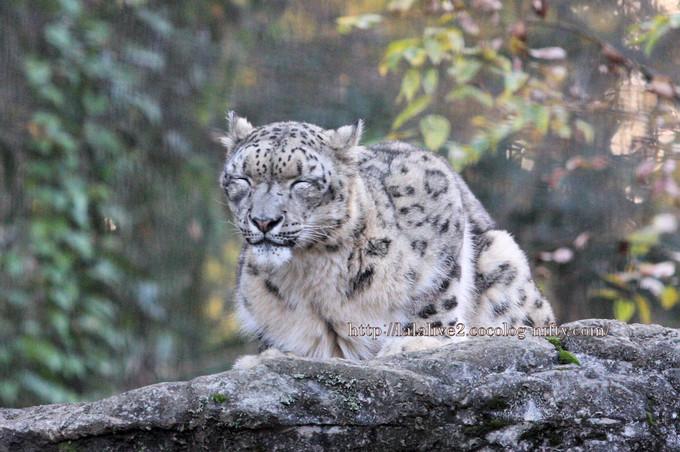 Snow_leopard_mirucha2016112