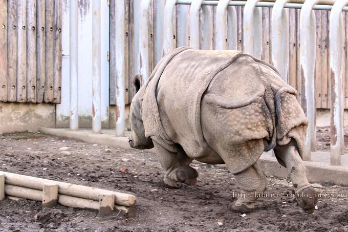 Rhinoceros201612