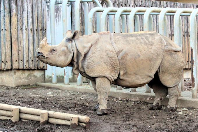 Rhinoceros2016124